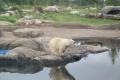 Kulumbuso zoologijos sodo pasididžiavimas - baltoji meškutė Nora